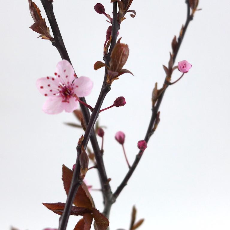 Kirschblüte sophiagaleria