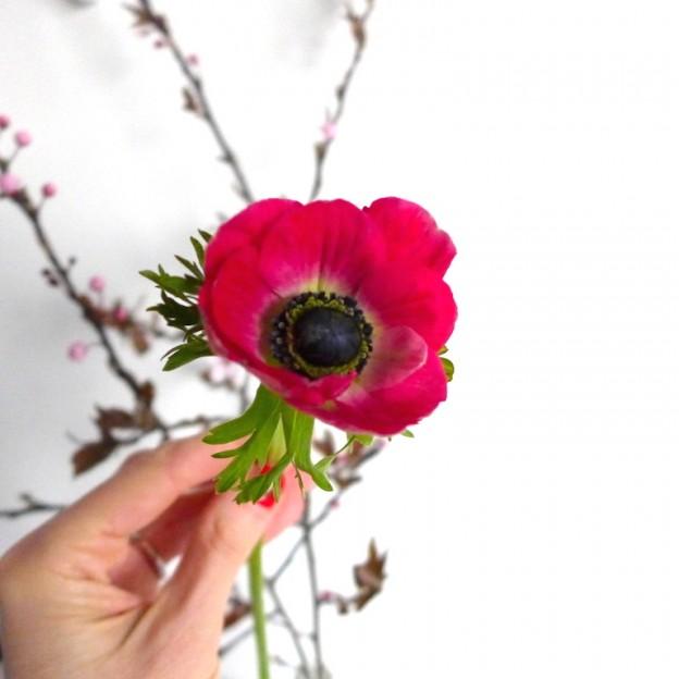 Anemonen sophiagaleria flower friday