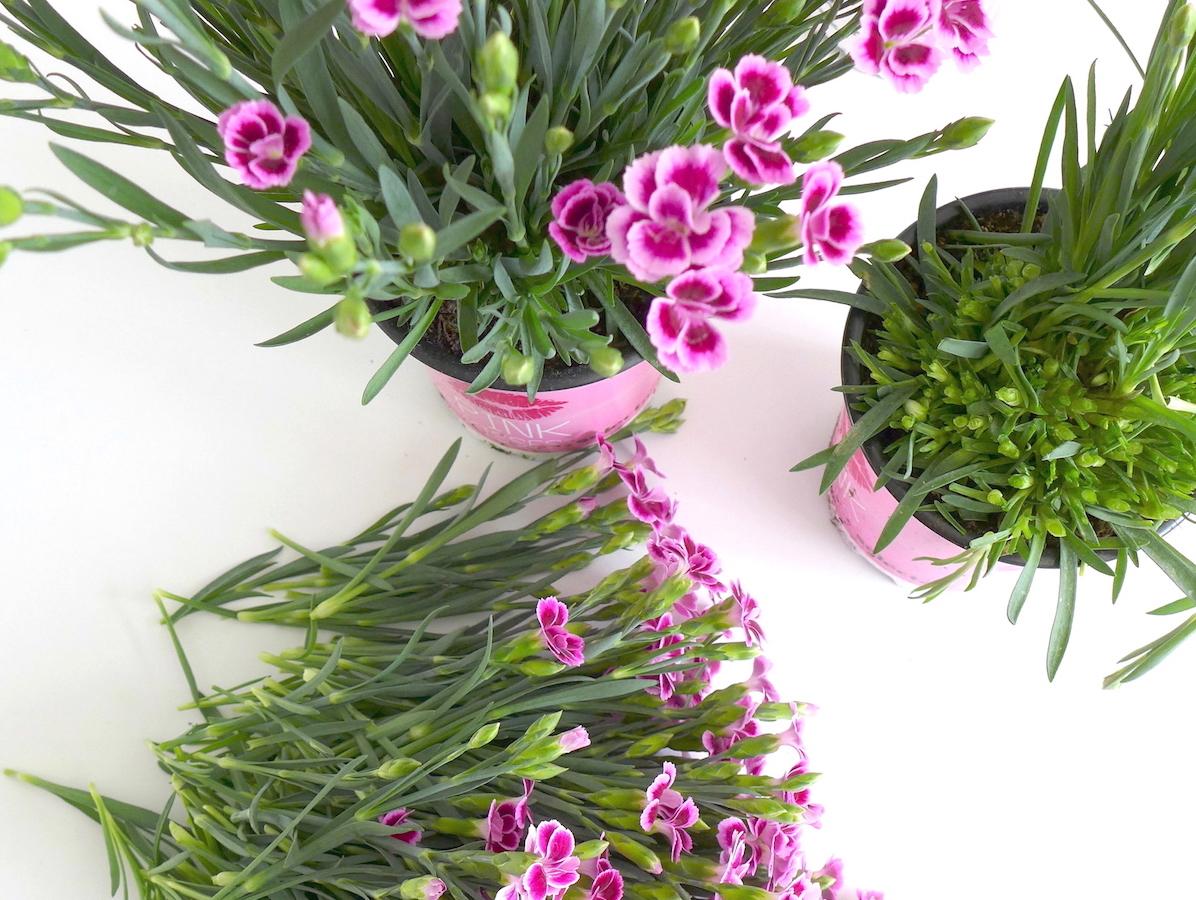 Pink Kissen Bartnelken sophiagaleria
